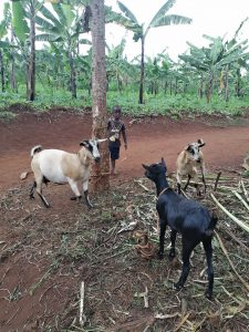 Projekte - Viehzucht - Iriba Shalom International